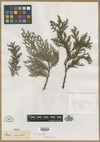 Filed as Thuja orientalis L. [family CUPRESSACEAE]