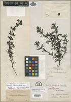 Holotype of Afzelia latiflora Pennell [family SCROPHULARIACEAE]