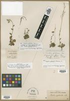 Holotype of Arabis spathulata Nutt. [family BRASSICACEAE]