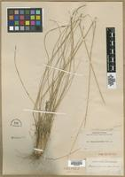 Isotype of Stipa avenacioides Nash [family POACEAE]