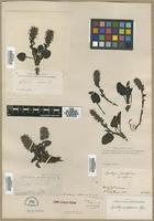 Isotype of Synthyris alpina A.Gray [family SCROPHULARIACEAE]