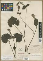 Isotype of Synthyris schizantha Piper [family SCROPHULARIACEAE]