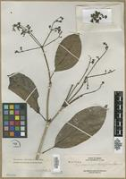 Isotype of Teijsmanniodendron glabrum Merr. [family LAMIACEAE]