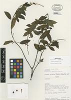Isotype of Scutellaria multiramosa A. Pool [family LAMIACEAE]