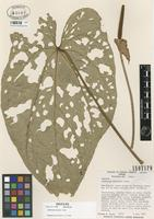 Isotype of Anthurium dressleri Croat [family ARACEAE]