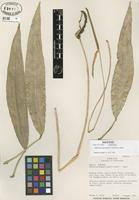 Isotype of Anthurium angustispadix Croat & R.A. Baker [family ARACEAE]