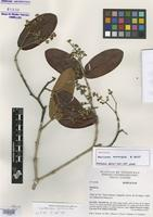 Holotype of Marlierea subcordata B. Holst [family MYRTACEAE]
