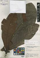 Holotype of Tovomita auriculata Cuello [family CLUSIACEAE]