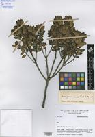 Paratype of Ilex guaramacalensis Cuello & Aymard [family AQUIFOLIACEAE]