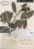 Holotype of Campsiandra implexicaulis Stergios [family CAESALPINIACEAE]