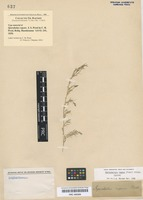 Isotype of Sporobolus repens J. Presl [family POACEAE]