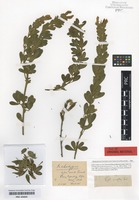 Original material of Cytisus onustus Tausch [family FABACEAE]