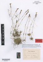Syntype of Dianthus strictus Banks & Sol. subspecies orbelicus Velen. [family CARYOPHYLLACEAE]