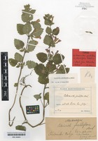 Type of Calamintha grandiflora (L.) Moench forma rhombifolia Rohlena [family LAMIACEAE]