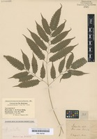 Type of Pteris alata C. Presl [family PTERIDACEAE]