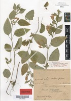 Holotype of Calamintha grandiflora (L.) Moench forma oblongifolia Rohlena [family LAMIACEAE]