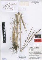 Holotype of Festuca cocuyana Stančík [family POACEAE]