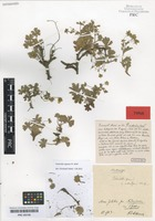 Type of Potentilla opaca L. variety subalpina Th. Wolf [family ROSACEAE]