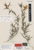 Lectotype of Oenothera odoratissima Tausch [family ONAGRACEAE]