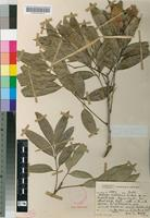 Type of Atalaya natalensis R.A.Dyer [family SAPINDACEAE]