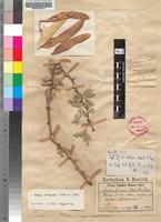 Isotype of Acacia dulcis Marloth & Engl. [family FABACEAE]