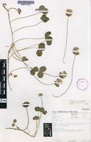 Filed as Trifolium repens (Thell.) Brenan [family FABACEAE]