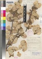 Holotype of Petalidium luteo-album A.Meeuse [family ACANTHACEAE]
