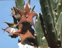 Stapelia rufa Masson