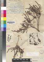 Isotype of Salsola nigrescens I.Verd. [family CHENOPODIACEAE]