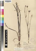 Isotype of Aristea palustris Schltr. [family IRIDACEAE]