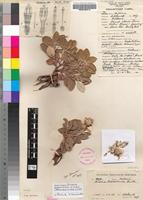 Holotype of Macledium pretoriense (C.A.Sm.) S.Ortíz [family ASTERACEAE]