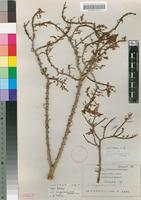 Isotype of Ceraria longipedunculata Merxm. & Podlech [family PORTULACACEAE]