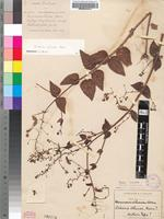 Isotype of Diascia aliciae Hiern [family SCROPHULARIACEAE]