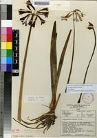 Filed as Agapanthus africanus (L.) Hoffmanns. subsp. walshii (L.Bolus) Zonneveld & G.D.Duncan [family AGAPANTHACEAE]