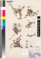 Isotype of Cromidon gracile Hilliard [family SCROPHULARIACEAE]