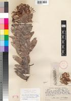 Holotype of Mimetes hottentoticus E.Phillips & Hutch. [family PROTEACEAE]