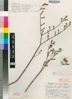 Isotype of Cotyledon singularis R.A.Dyer [family CRASSULACEAE]