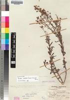 Isosyntype of Sutera neglecta (J.M.Wood & M.S.Evans) Hiern [family SCROPHULARIACEAE]