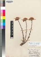 Isotype of Pseudoselago langebergensis Hilliard [family SCROPHULARIACEAE]