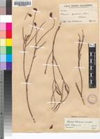 Syntype of Thesium patersonae A.W.Hill [family SANTALACEAE]