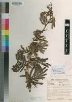 Holotype of Acacia theronii P.P.Swartz [family FABACEAE]