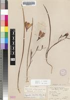 Isotype of Engysiphon brevitubus G.J.Lewis [family IRIDACEAE]