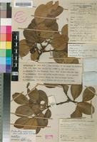 Holotype of Acokanthera schimperi (A.DC.) Schweinf. var. rotundata Codd [family APOCYNACEAE]