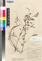 Isotype of Indigofera schinzii N.E.Br. [family FABACEAE]