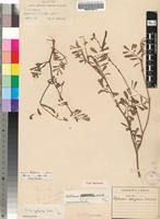 Isotype of Tephrosia delagoensis H.M.L.Forbes [family FABACEAE]