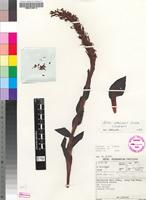Holotype of Disa clavicornis H.P.Linder [family ORCHIDACEAE]