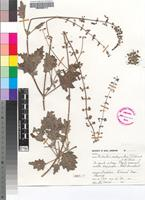 Isotype of Plectranthus porphyranthus T.J.Edwards & N.R.Crouch [family LAMIACEAE]