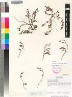 Isotype of Cromidon microechinos Hilliard [family SCROPHULARIACEAE]