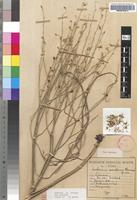 Holotype of Anthericum erraticum Oberm. [family ANTHERICACEAE]
