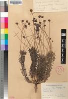 Lectotype of Euryops rogersii Burtt Davy [family ASTERACEAE]